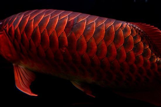 Red-Dragon-Fish3