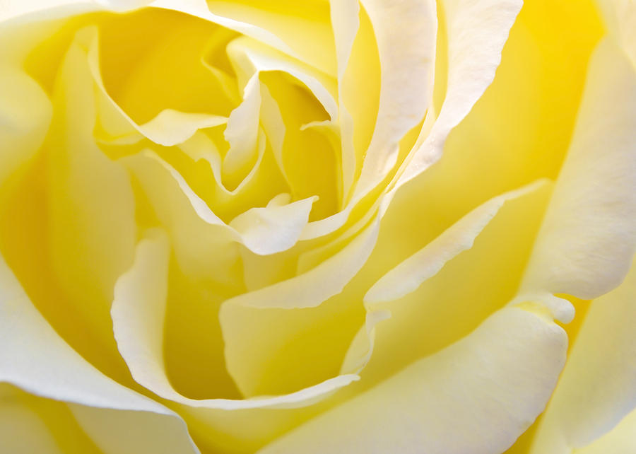 yellow-rose-svetlana-sewell