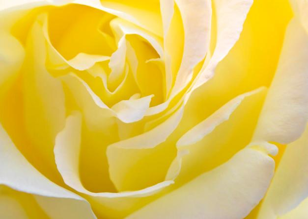 YELLOW ROSE FOR TEXAS : SOLOMON … Luciferian Molock and The PAPAL of the EL Yellow-rose-svetlana-sewell