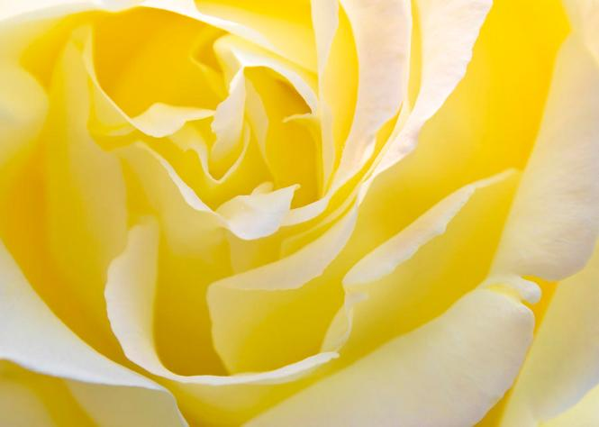 YELLOW ROSE FOR TEXAS FACEBOOK