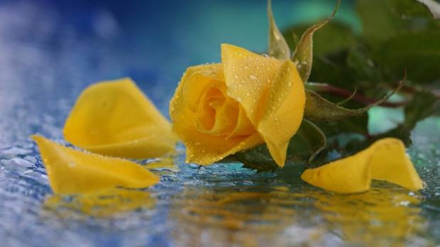 yellow-rose-water