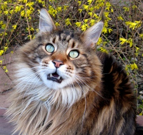 maine-coon-cat-size