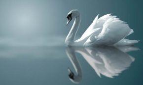 swan-reflection