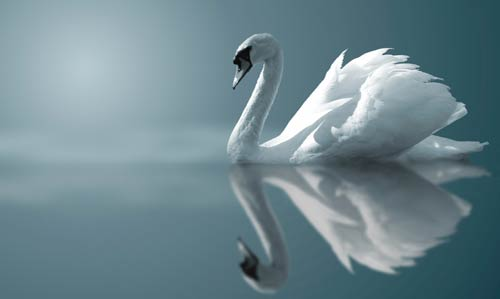 swan-reflection
