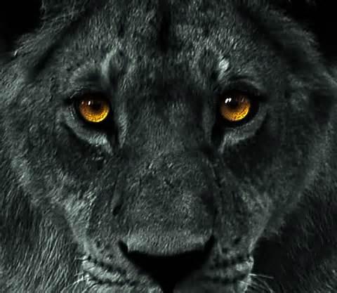 lionblack