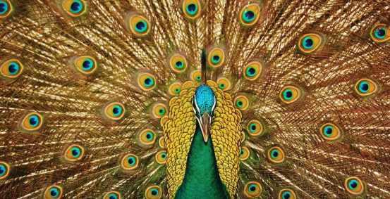 peacockx