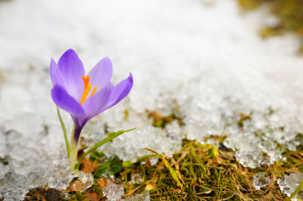 flower-and-melting-snow