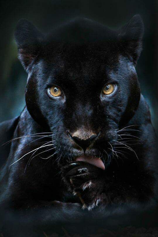 pantherunknown