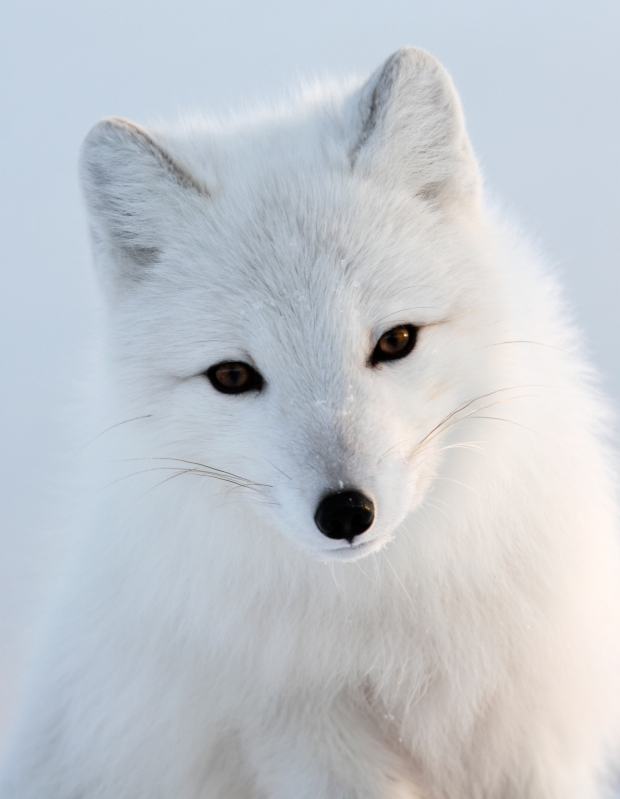 arctic_fox2