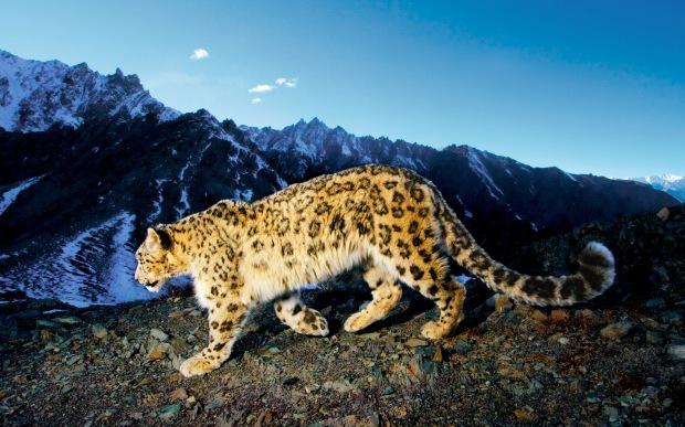 snow-leopard-prowl