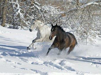 Horses_the_Snow