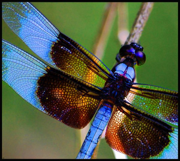 dragonfly-dragonflies-insect-animal-wild-nature-12