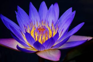 blue-water-lily-flower-flowers-hd-wallpaper-beautiful-gallery-hd1