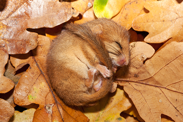 dormouse_in_a_torpid_state