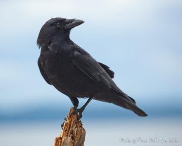crow_20120603_img_0056