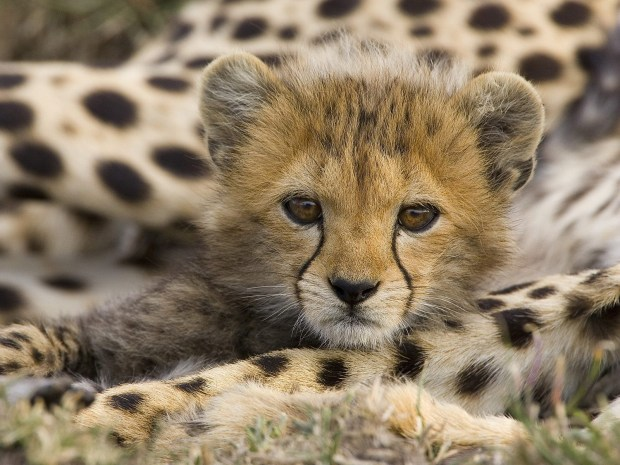 cheetah-cub-animal-cubs-29106102-1600-1200
