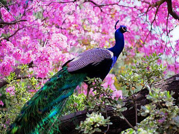 most-beautiful-sweet-peacock-desktop-backgrounds