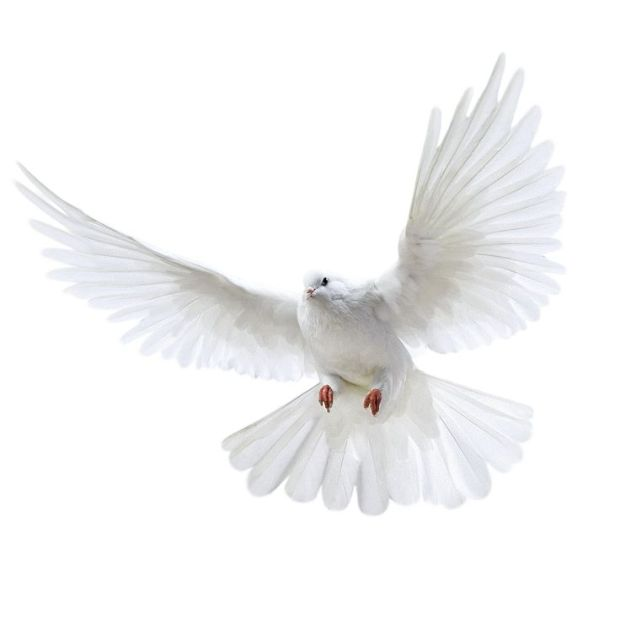 ef0f09d2b4187d1022c00ccbe5ff2b2c-bird-theme-white-doves