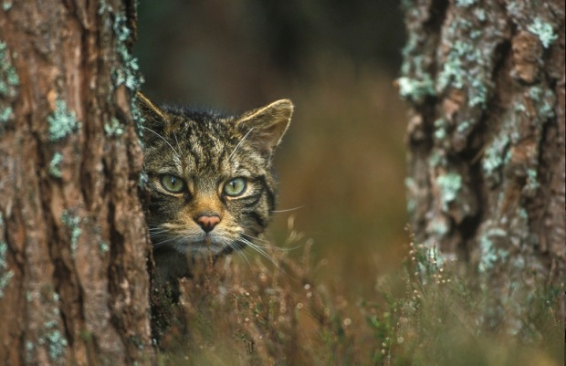 Scottish wildcat (Felis sylvestris grampia) peering around tree, Scotland.