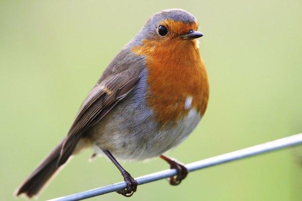 robin_red_breast_bird_on_log3