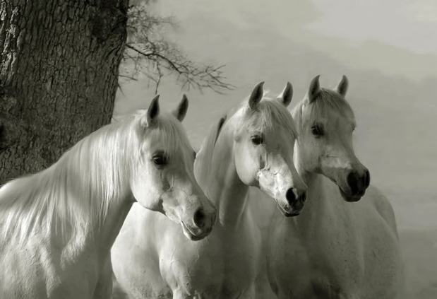 beautifulwhitehorsesbycoolwallpapersatcoolwallpapersandcoolandbeautifulwallpapers252842529