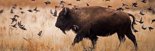 bisonx