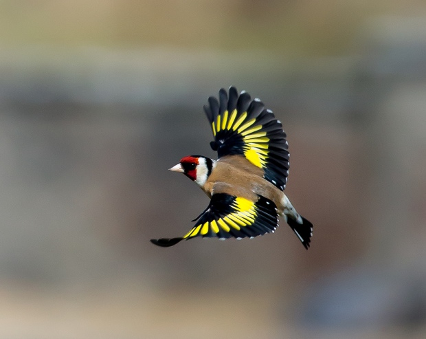 flying-european-goldfinch