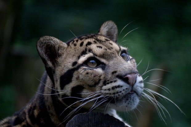 910592-download-clouded-leopard-wallpaper-2048x1365