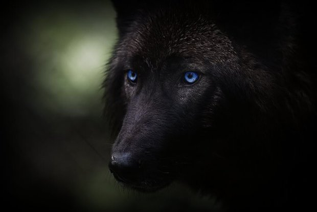 blackwolf-4
