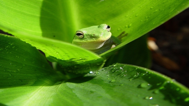 frogs-green-animal-planet_1920x1080