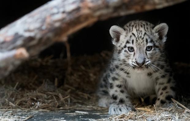Snow Leopard Kid