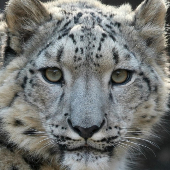 photo-by-steve-tracy-courtesy-of-the-snow-leopard-trust1-e1402469628114