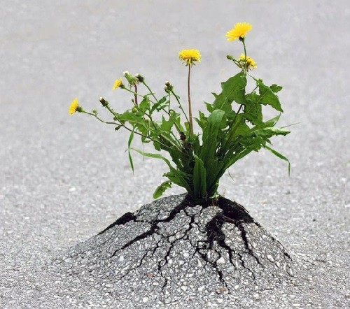 even-a-tiny-flower-is-able-to-crack-concrete-2-500x442