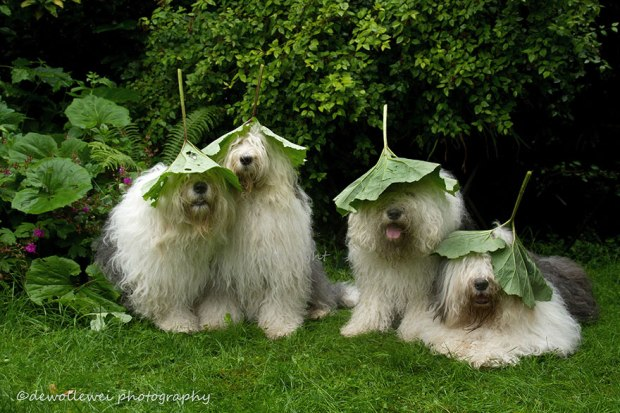 old-english-sheepdog-dog-sisters-sophie-sarah-cees-bol-5