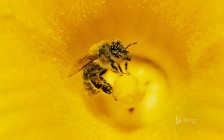 A honey bee (Apis mellifera covered in pollen in pumpkin, Germany