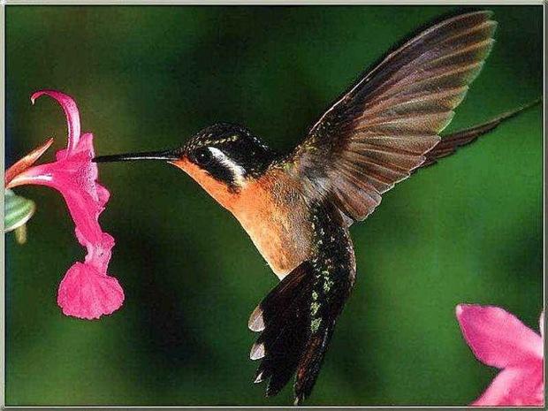 hummingbird_and_flowers