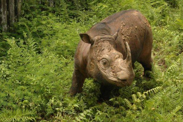 malaysia-s-last-male-sumatran-rhino-dies
