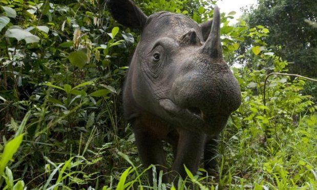 sumatran-rhino-e1558950625529