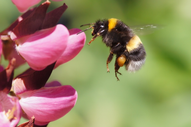 Bumble bee arriving at a pink flower