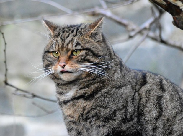scottish-wild-cat