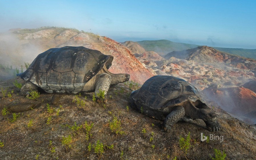 Giant tortoises on Alcedo Volcano in the Galapagos Islands